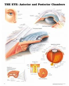 """Anterior and Posterior Eye Diagram - 20"""" x 26"""" Clinical Medications & Supplies"""
